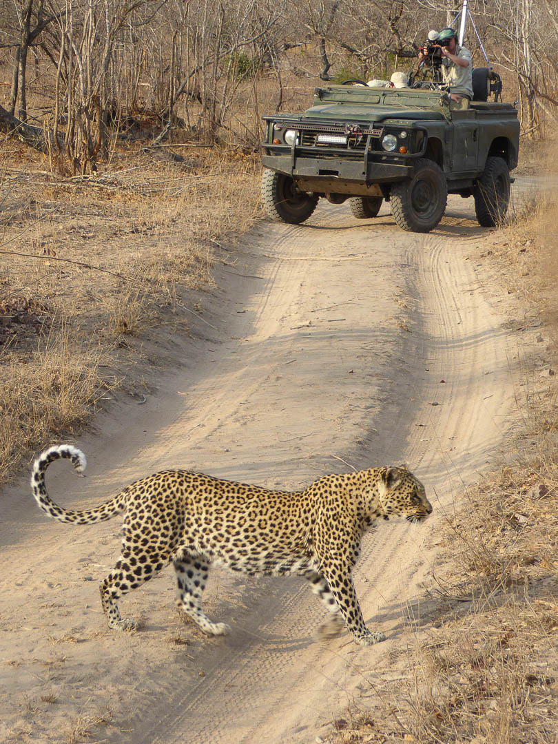 safari-roads-leopard