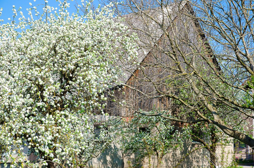 Scheune mit Kirschblüte