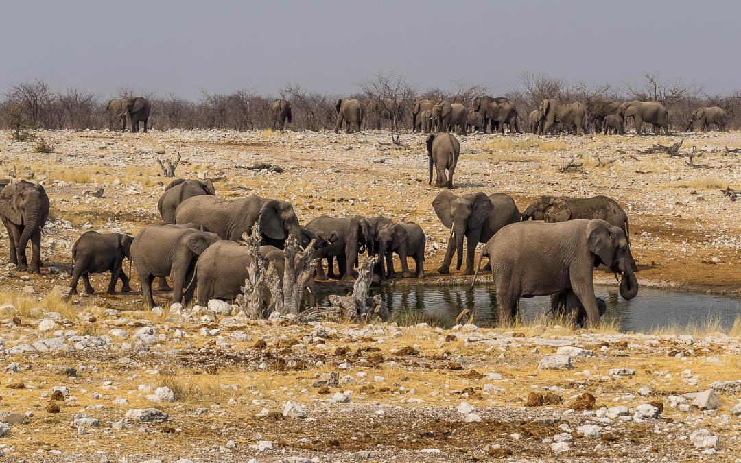 Elephant Abundance