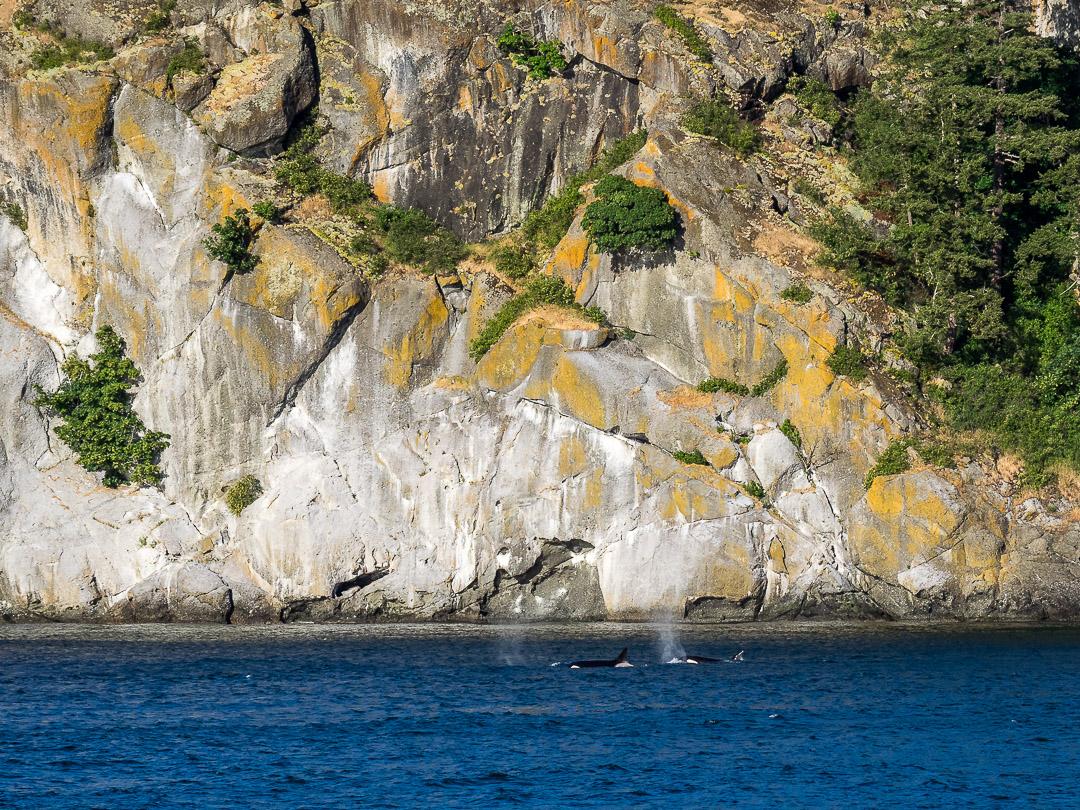 Orca Whale |Stuart Island |2018