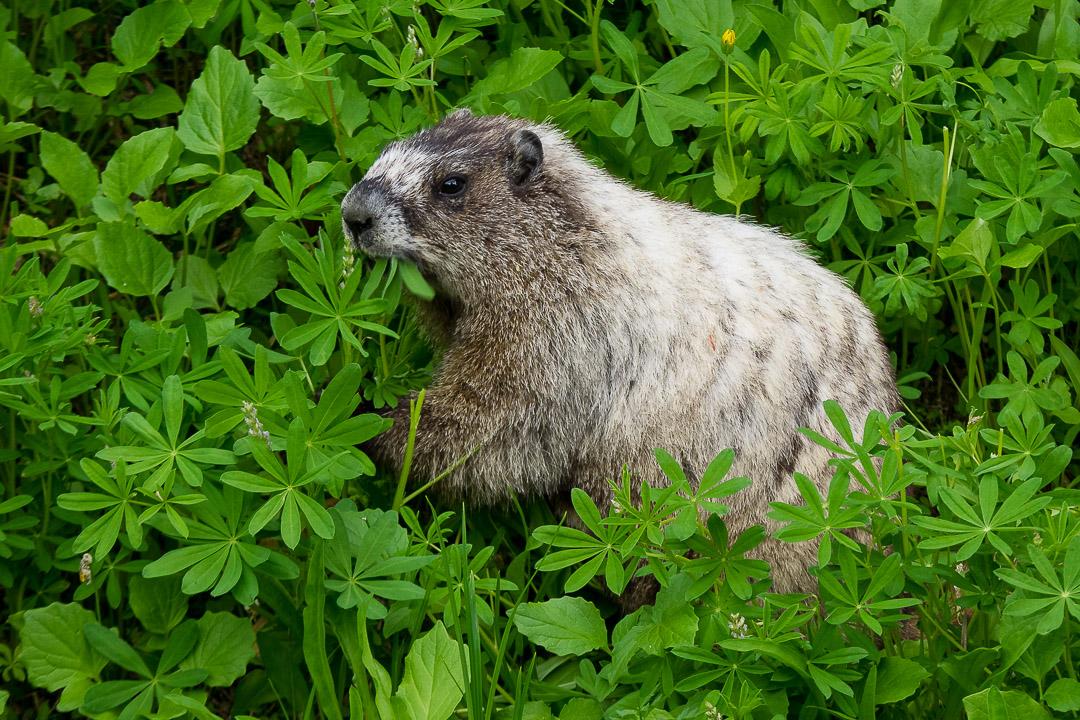 Marmot |1/250 sec - f/4.5 - ISO 200 - 100mm