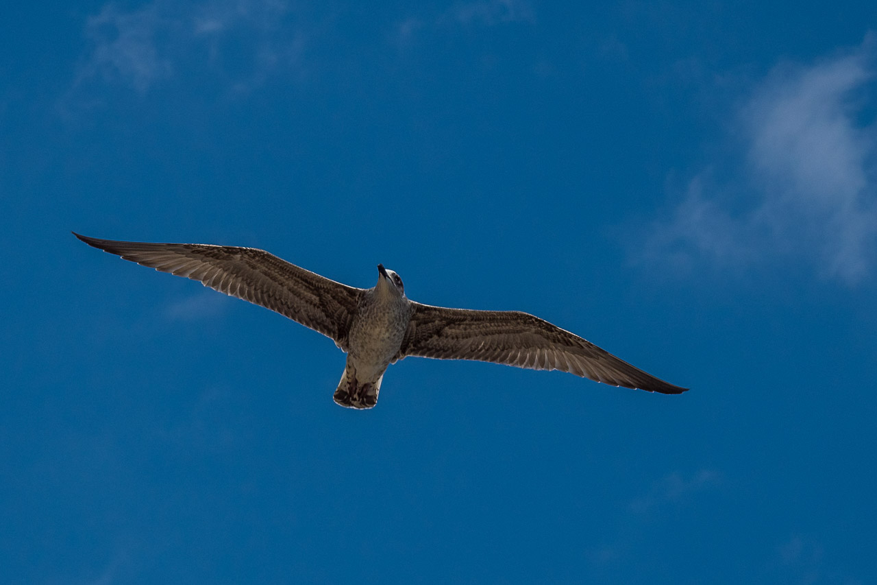 A seagull flying overhead