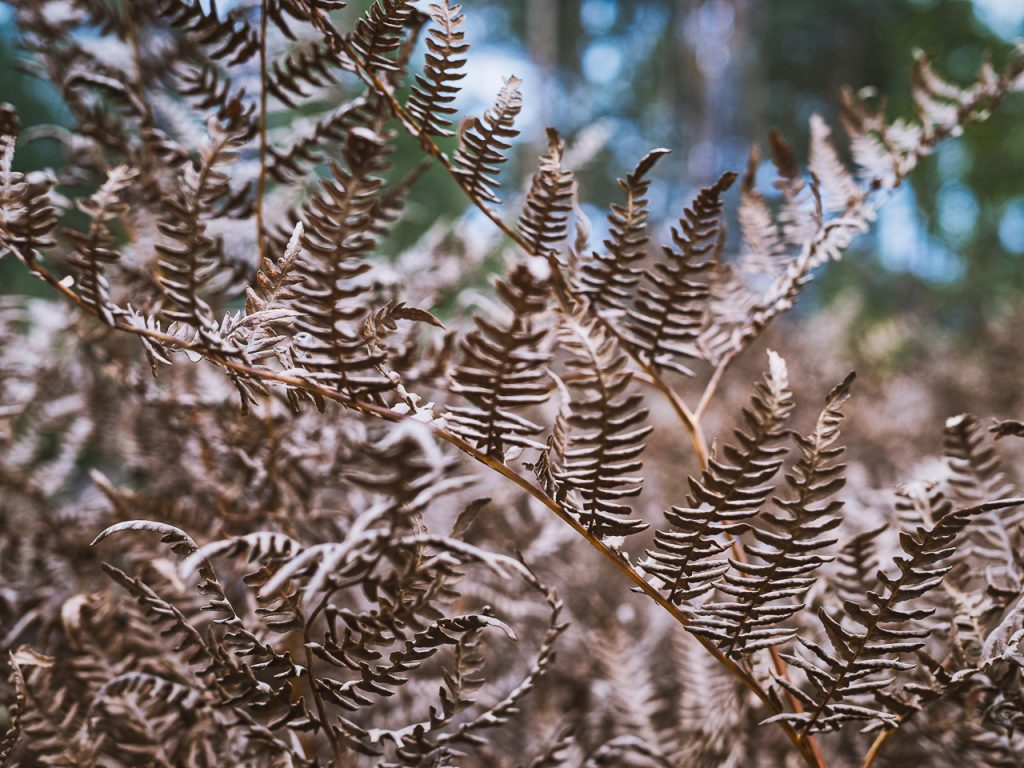 Dried forest ferns