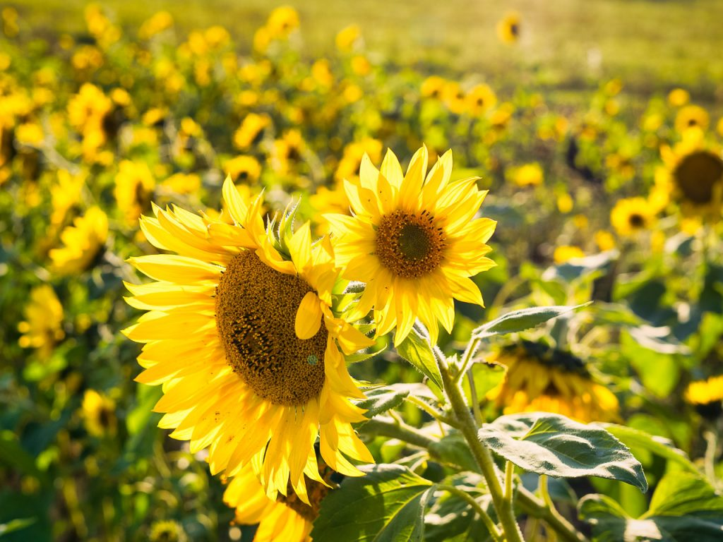 sunflower field in the golden hour