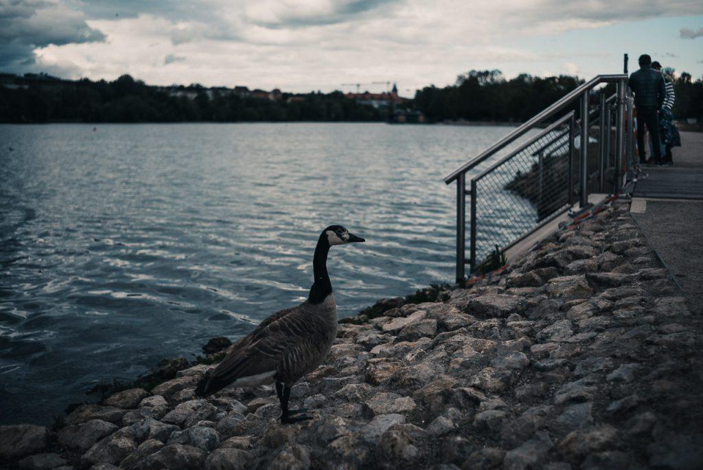 Goose Gaze